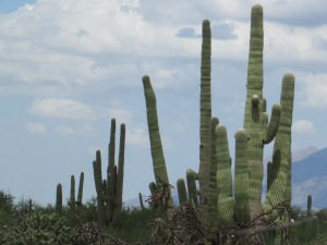 The saguaro cactus in the Sonoran Desert