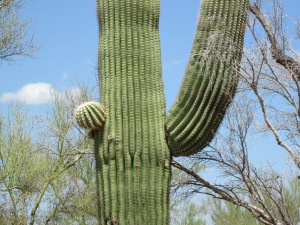 the saguaro expands with water
