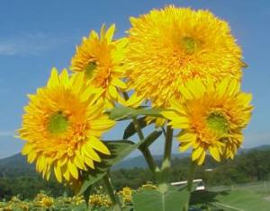 ornamental type of sunflower