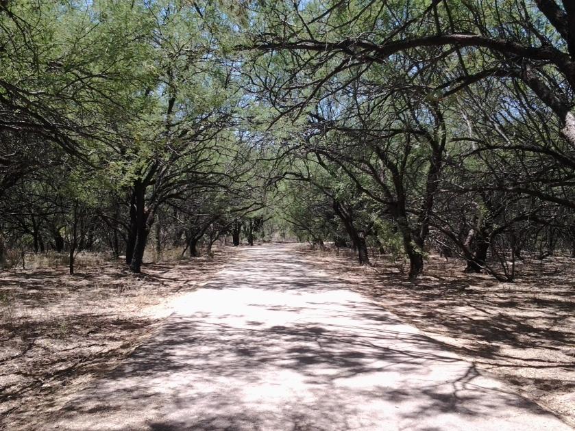Mesquite Trees