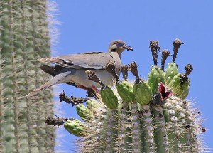 birds live on saguaro cactus flowers and fruit