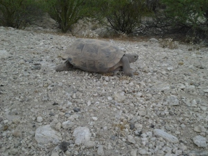 Desert Tortoise in Arizona