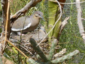 white winged doves in the desert