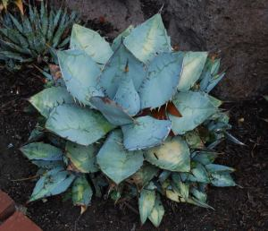 Blue agave cactus plant with spike leaves in desert
