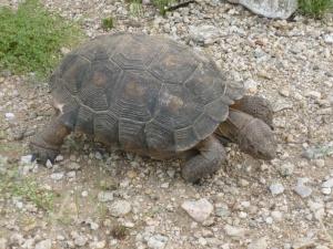 Phoenix Desert Tortoise