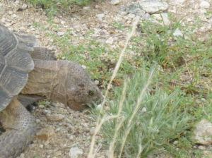 Arizona Tortoise, Tucson Turtle