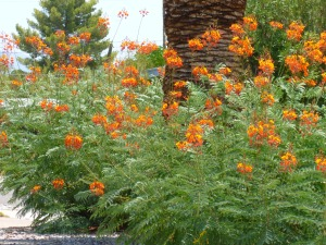Caesalpinia pulcherrima bushes with orange flowers