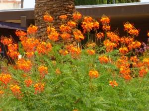Caesalpinia pulcherrima bush in Tucson