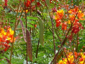 Bean Pods on Bird of Paradise bush