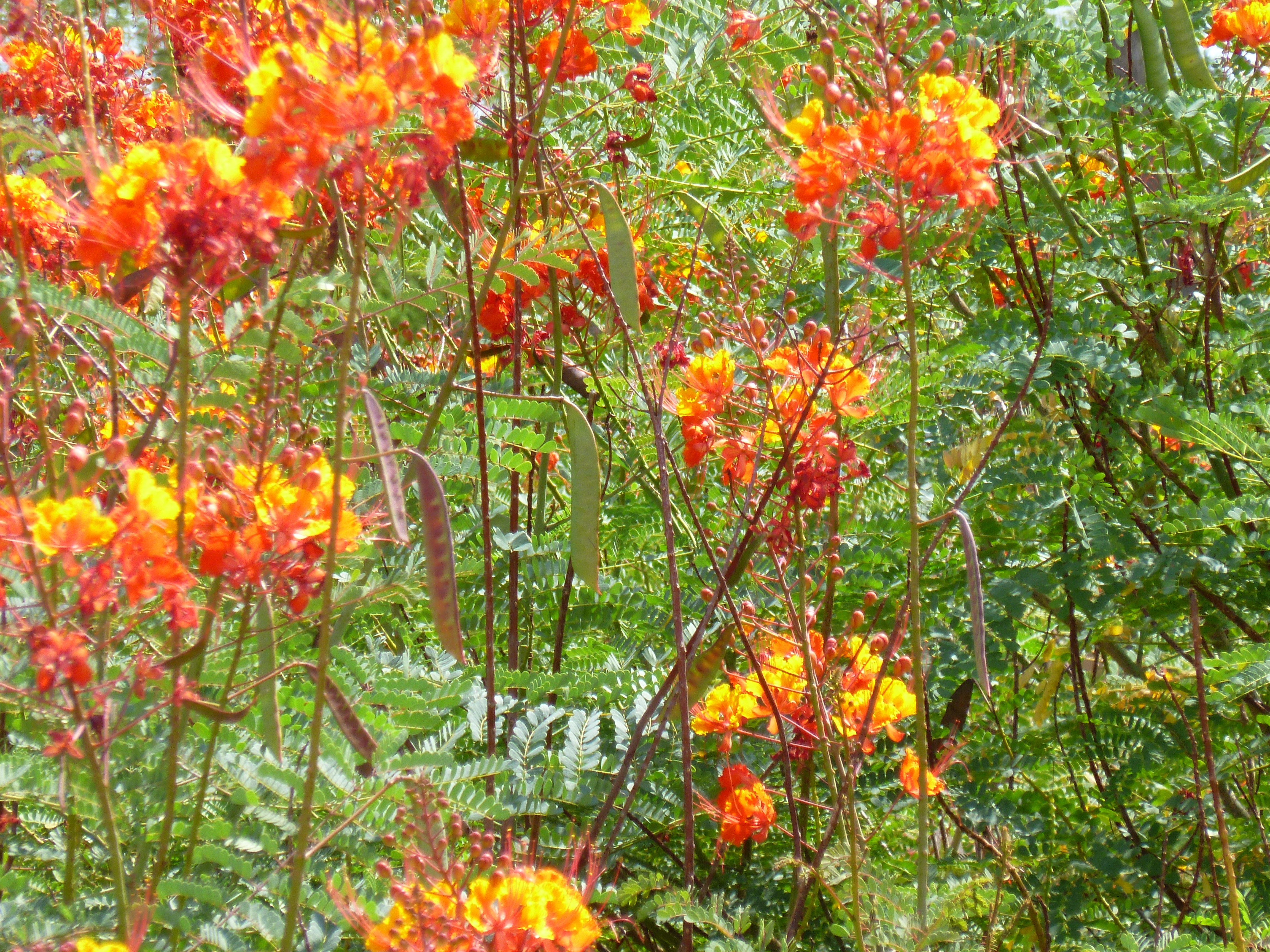 Bushes With Red Orange And Yellow Flowers In Arizona Red Bird Of