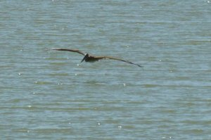 wing span of brown pelican bird