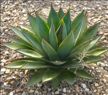 agave cactus good for containers pots