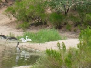 Lakeside Park pelican heron egret Arizona