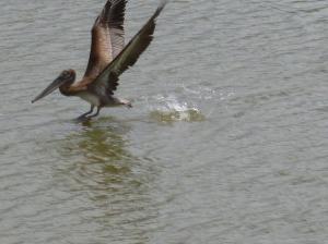 pelican birds in tucson phoenix