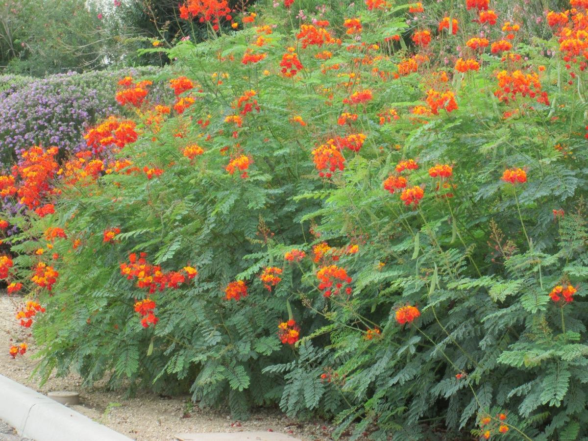 Desert Shrubs - Caesalpinia pulcherrima