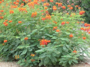 phoenix desert bushes red orange yellow flowers