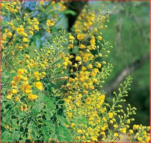 bush with yellow flowers round leaves