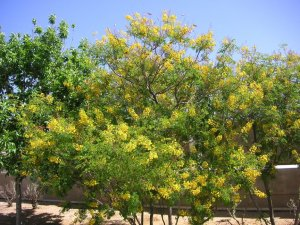 yellow flowers and round leaves bush shrub arizona texas