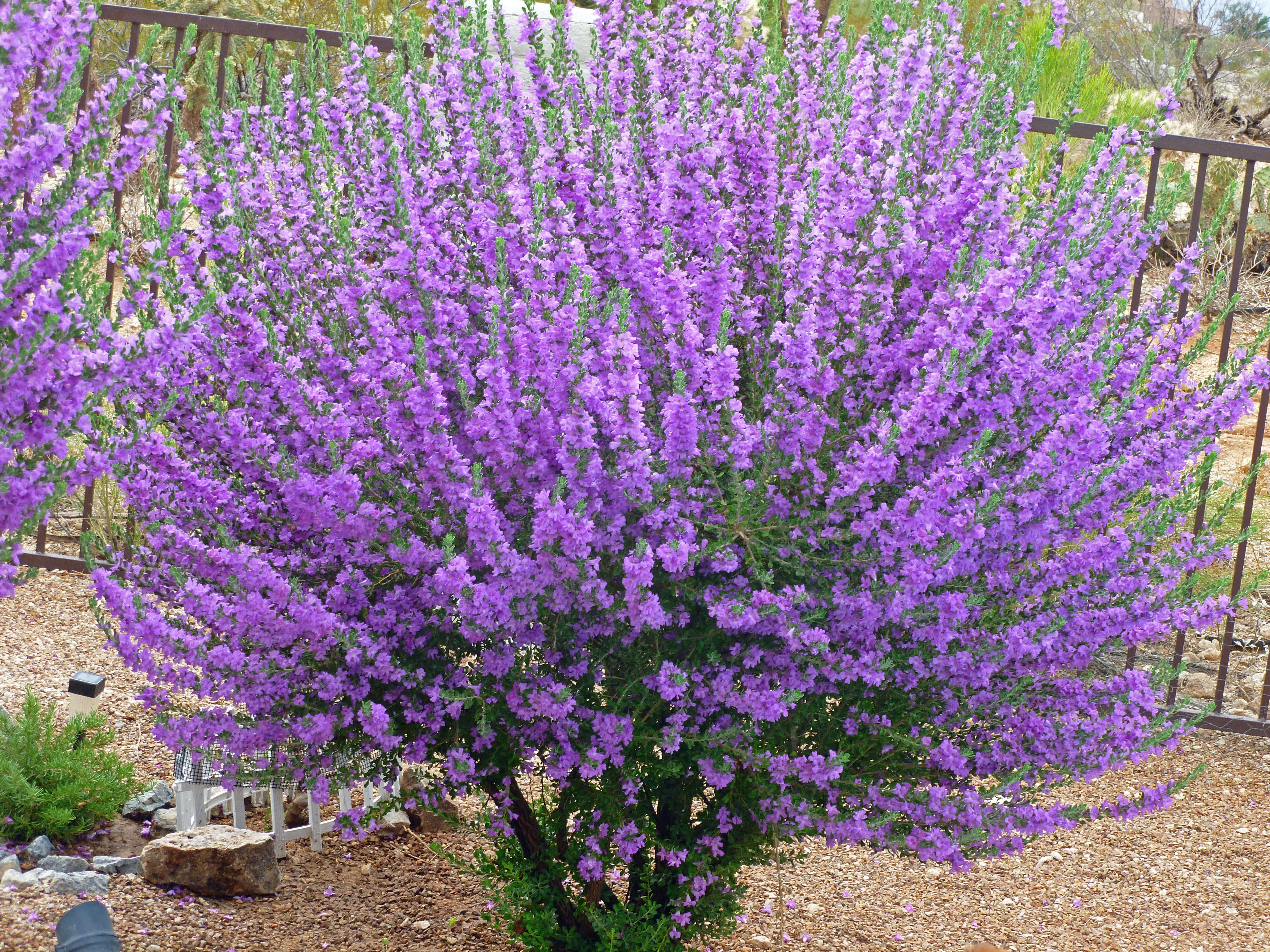 desert flowering shrubs purple flowering bushes in the