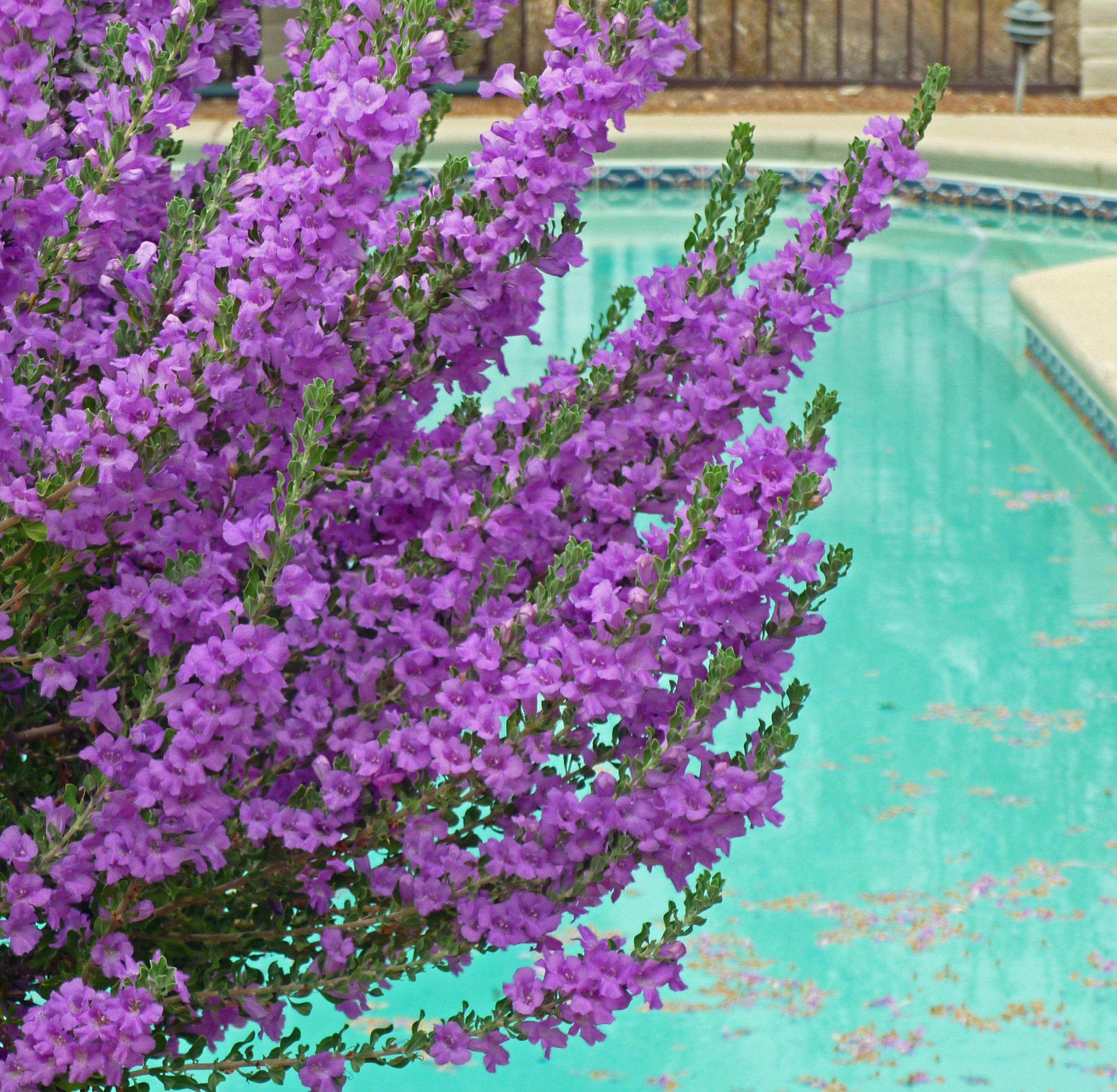 Shrubs with purple flowers pictures - Texas Ranger Purple Bush