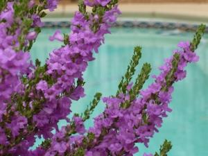 Phoenix desert plants purple