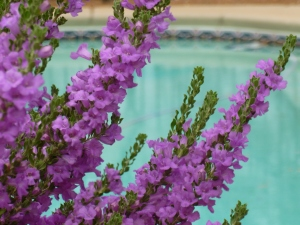 Phoenix desert plants purple