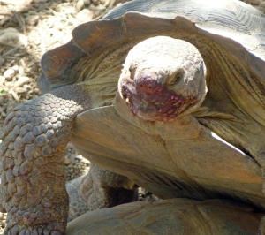 tortoise in Arizona eat prickly pear cactus