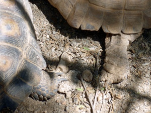 female and male tortoise difference