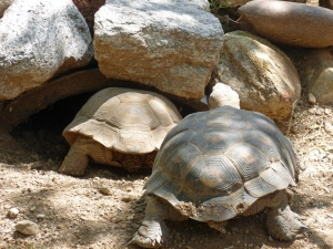 male female Arizona Tortoise Turtle