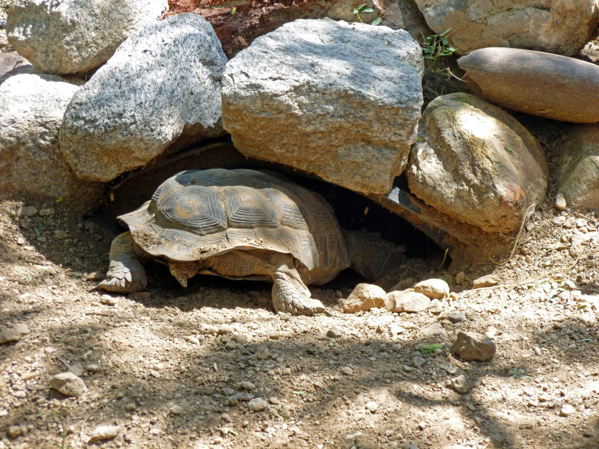 Desert turtles in Arizona – difference between male and female tortoises