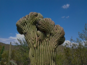 Fan like shaped cactus rare