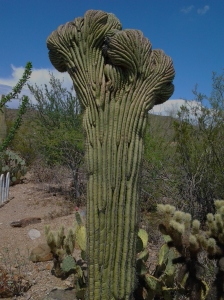 crested cristate cactus in Tucson Phoenix