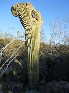 rare arizona cactus