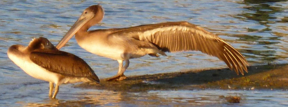 Migrating birds fly off course – Brown Pelicans in the desert?