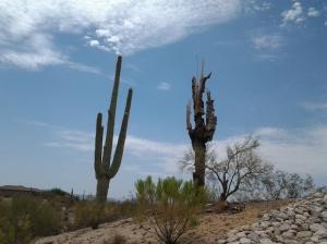 dead saguaro cactus ribs