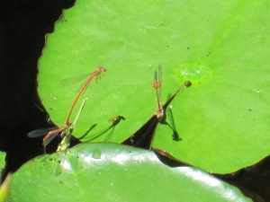 male and female damselflies