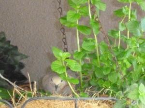 dove sitting on eggs