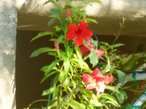 Mandevilla growing up a trellis