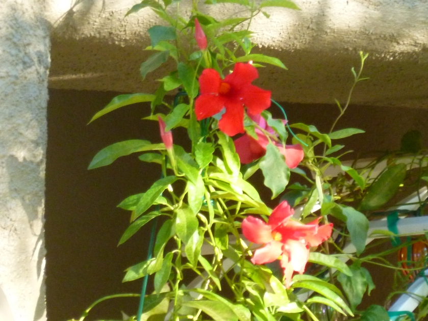 Mandevilla up a trellis front door