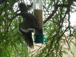 dove birds in Arizona at birdfeeder
