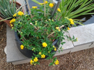 drought tolerant lantana for garden