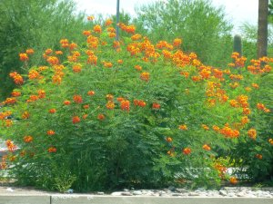 arizona orange red yellow flowers desert shrub