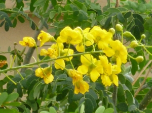 Tjs garden bush with round leaves yellow flowers texasmexican bird of paradiseleaves yellow flowers of caesalpinia mexicanared orange blooming bush flowersred bird of paradise orange red flowersmexican mightylinksfo Images