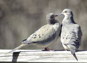 doves birds mate