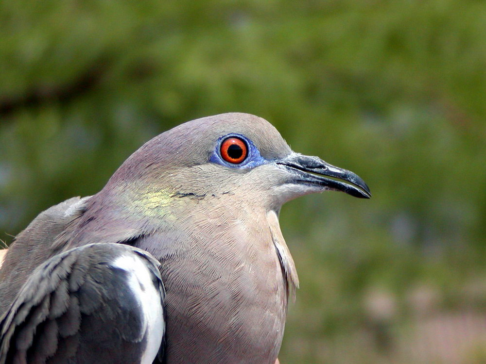 adult male dove bird with red eyes