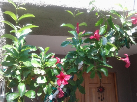 mandevilla growing in a pot