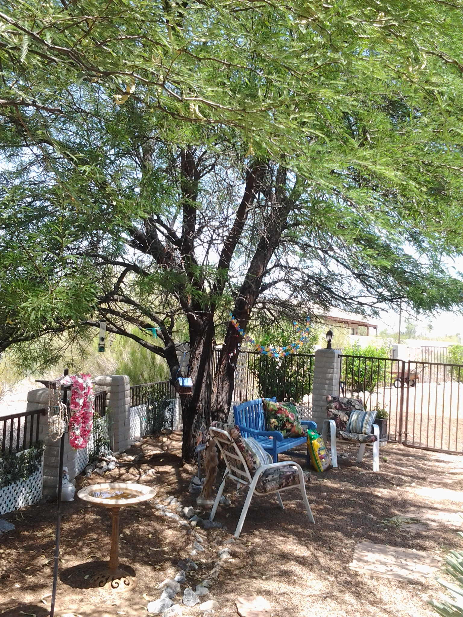 the thornless chilean mesquite is the best tree for shade u2013 tjs garden