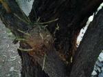 mesquite tree disease, infected with mistle toe (mistletoe)