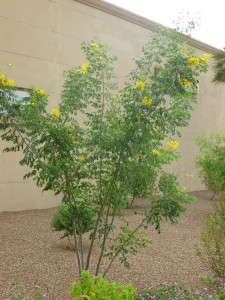Bushes with round leaves yellow flowers desert