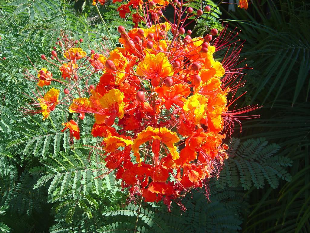 Pride of Barbados plant – Tjs Garden